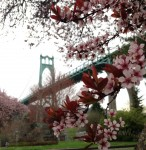 Trees blooming at Cathedral Park, with the St. John's Bridge in the background, in Portland Oregon