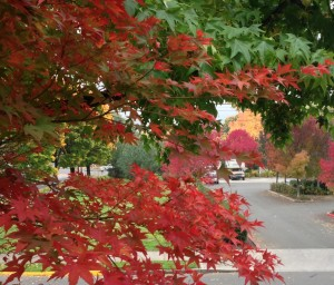 Portland is dazzling with fall color this year.